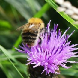 Common carder bee-practically perfect